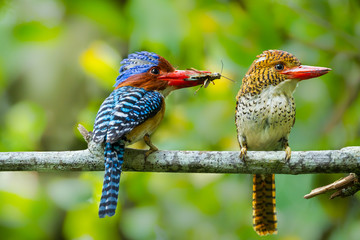 Couple of love of Banded Kingfisher  with cicada in his mount