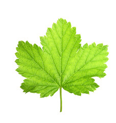 Black currant berry leaf