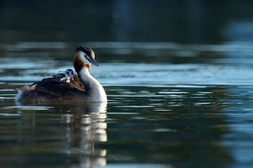 Crested grebe, podiceps cristatus, duck and baby