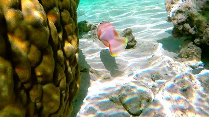 Beautiful red fish in Red sea. Egypt.