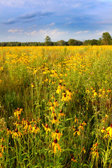 Illinois Prairie Flowers in Bloom