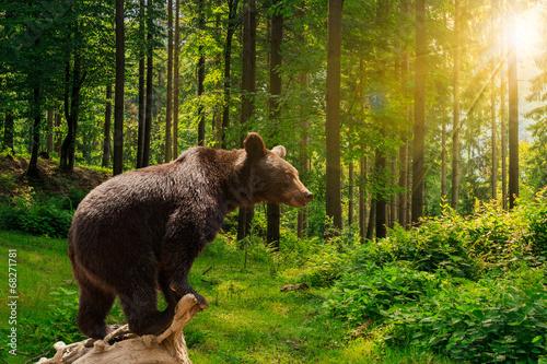 Plexiglas Dragen curious little bear in the forest