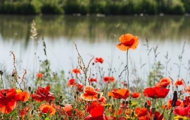 Fragile poppy flower rises above the rest