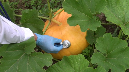 agronomist farmer with stethoscope looking pumpkin health