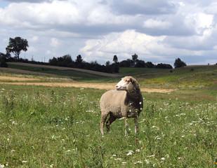 lone sheep grazing on a meadow Ukrainian