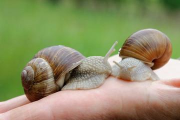 deux escargots de Bourgogne dans la main