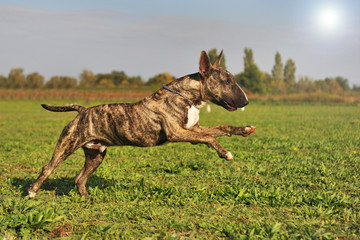 bull terrier en mouvement