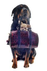 rottweiler et chihuahua dans un sac