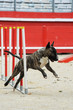 bull terrier in agility