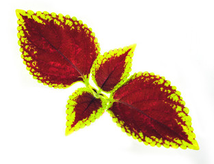 Painted nettle - coleus