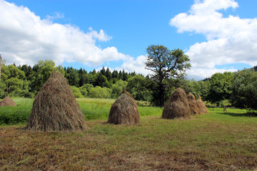 sheafs of hay standing in Carpathian mountains