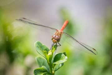 Goldene Libelle