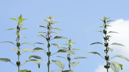 青空をバックにゴマの花