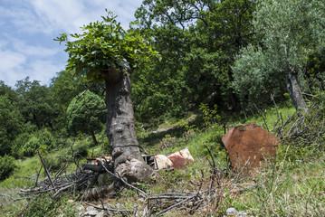 Fig tree and olive tree
