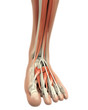������, ������: Human Foot Muscles Anatomy