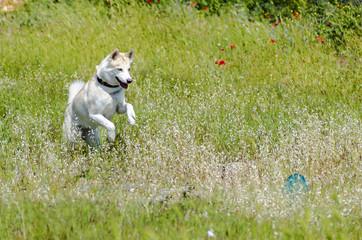 White siberian husky dog portrait outdoors. Beautiful husky play