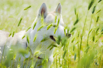 White siberian husky dog hiding behind green grass on a sunny da