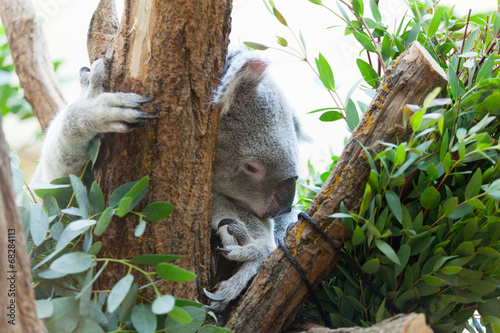 In de dag Koala koala a bear sits on a branch of a tree