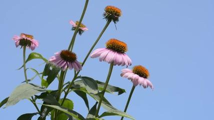 青空をバックにエキナセアの花