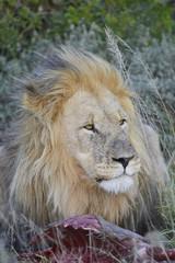 Lion with Prey - Portrait