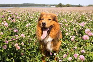Hund auf einem Wiesen Klee Feld