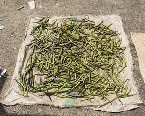 séchage de la vanille verte à Madagascar