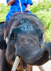 Mahout and his elephant in Thailand