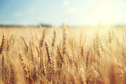 Poster Cultuur golden wheat field and sunny day