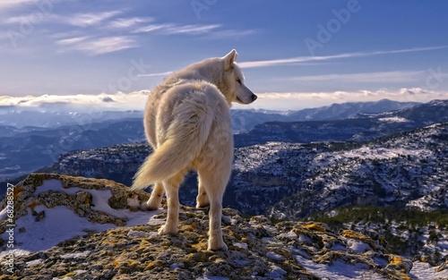 Fotobehang Wolf Волк