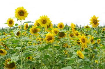 Sonnenblumenfeld 12