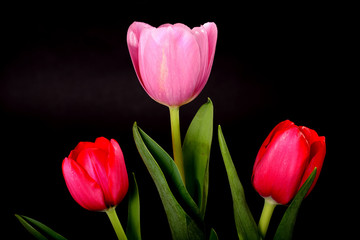 Red and Lavender Tulips
