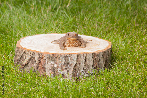 Foto op Canvas Kikker frog on the tree stump