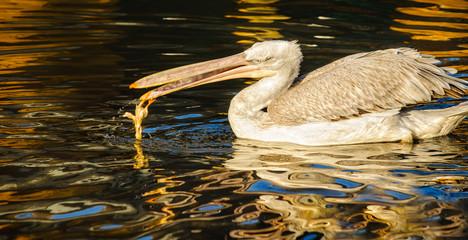 Pelikanmahlzeit im bunten Wasser