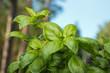 Fresh basil herb in outdoor garden