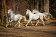 Lipizzan horses running - 68299950