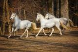 Lipizzan horses running