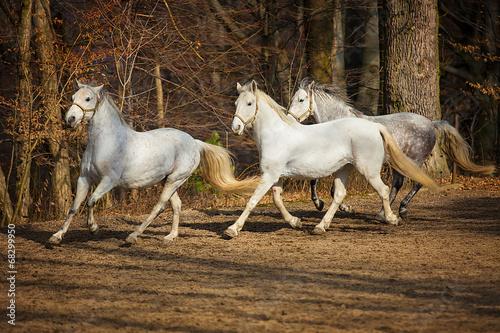 Staande foto Paardrijden Lipizzan horses running