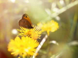Butterfly on yellow meadow flower