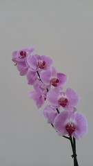 Orquideas lilas