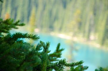 Pin branch at the Lake