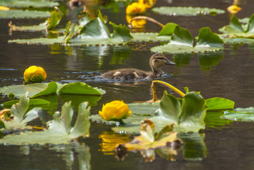 little brown baby duck swim around water lilly in Cub Lake Rocky