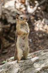 Standing Chipmunk