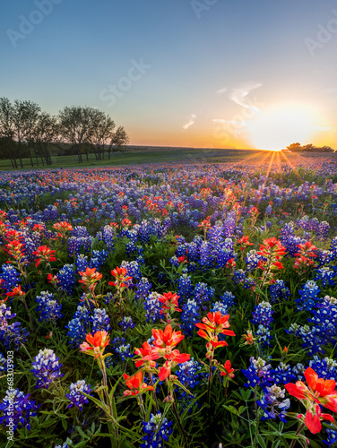 Bluebonnet and Indian paintbrush wildflowers filed, Texas - 68303903
