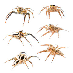 Male and Female Plexippus petersi Jumping spider set isolated