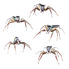 Male cosmophasis umbratica jumping spider set isolated