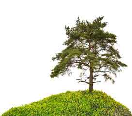 old large pine on green hill