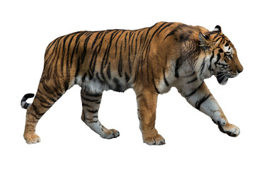 isolated on white striped tiger