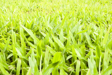 Close up on fresh green grass texture background