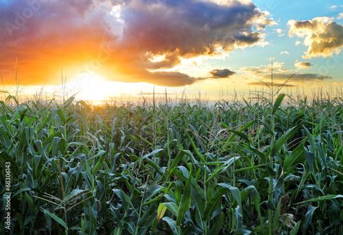 Corn field - 68306143