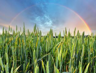 Rainbow over green wheat field